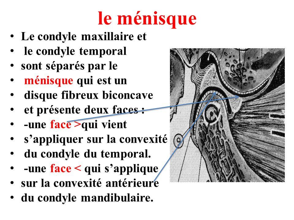 le ménisque Le condyle maxillaire et le condyle temporal sont séparés par le ménisque qui est un disque fibreux biconcave et présente deux faces : -un