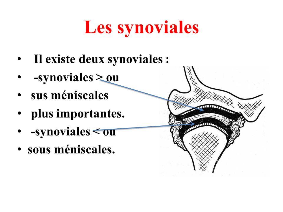 Les synoviales Il existe deux synoviales : -synoviales > ou sus méniscales plus importantes. -synoviales < ou sous méniscales.
