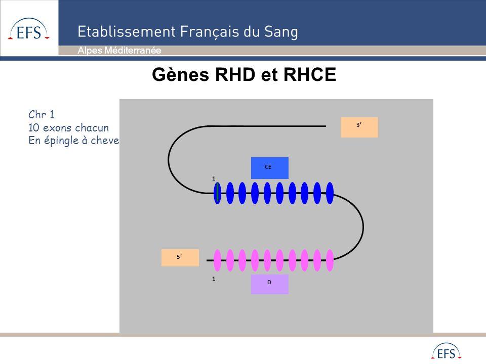 Alpes Méditerranée Gènes RHD et RHCE Chr 1 10 exons chacun En épingle à cheveux 3 5 D CE 1 1