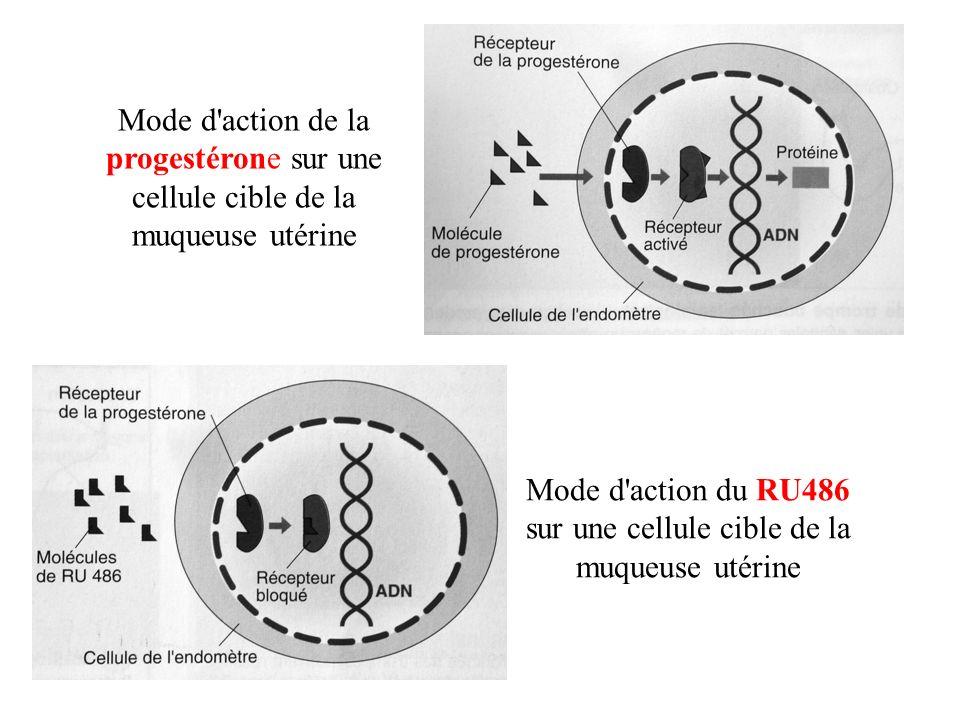 Mode d'action du RU486 sur une cellule cible de la muqueuse utérine Mode d'action de la progestérone sur une cellule cible de la muqueuse utérine