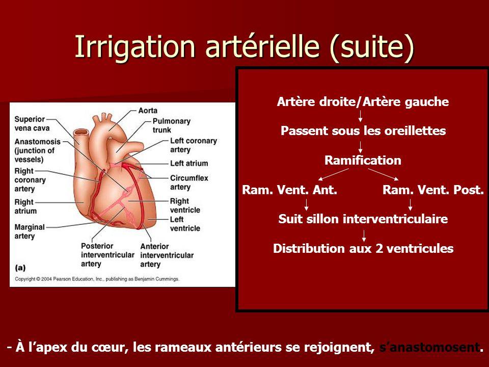 Irrigation artérielle (suite) Artère droite/Artère gauche Passent sous les oreillettes Ramification Ram. Vent. Ant. Ram. Vent. Post. Suit sillon inter