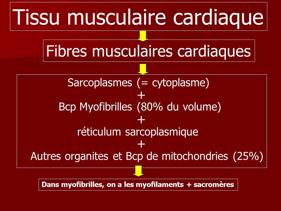 Tissu musculaire cardiaque Fibres musculaires cardiaques Sarcoplasmes (= cytoplasme) Bcp Myofibrilles (80% du volume) + + Autres organites et Bcp de m