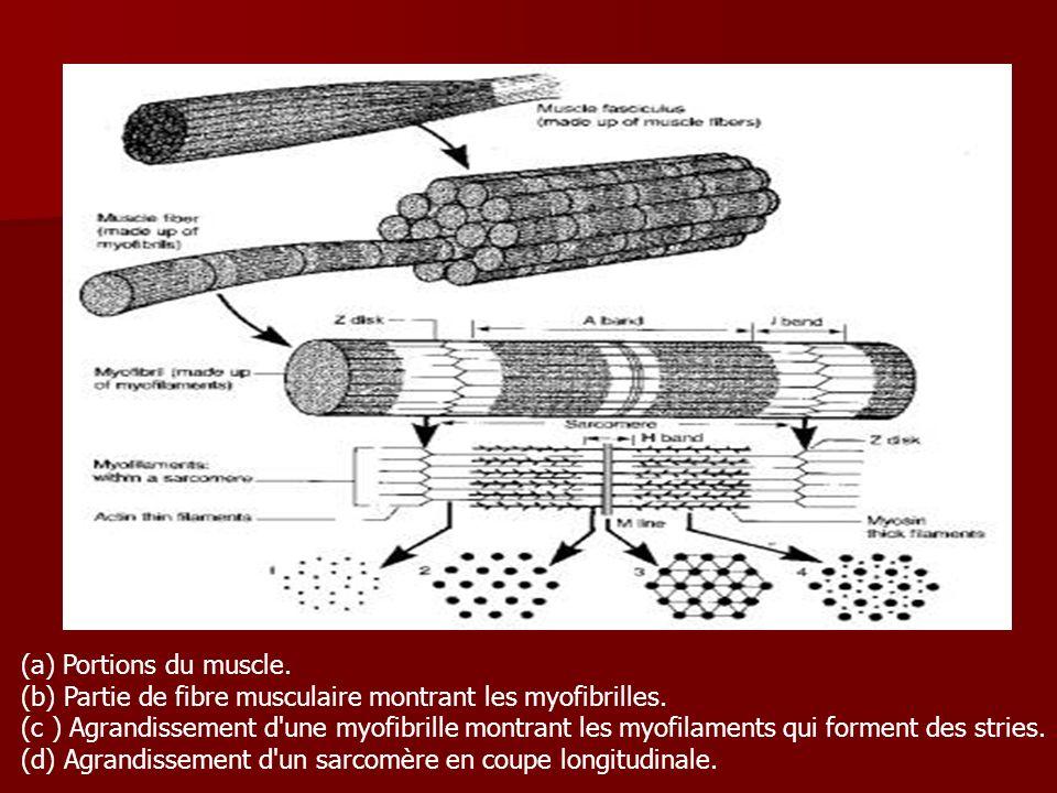 (a) Portions du muscle. (b) Partie de fibre musculaire montrant les myofibrilles. (c ) Agrandissement d'une myofibrille montrant les myofilaments qui