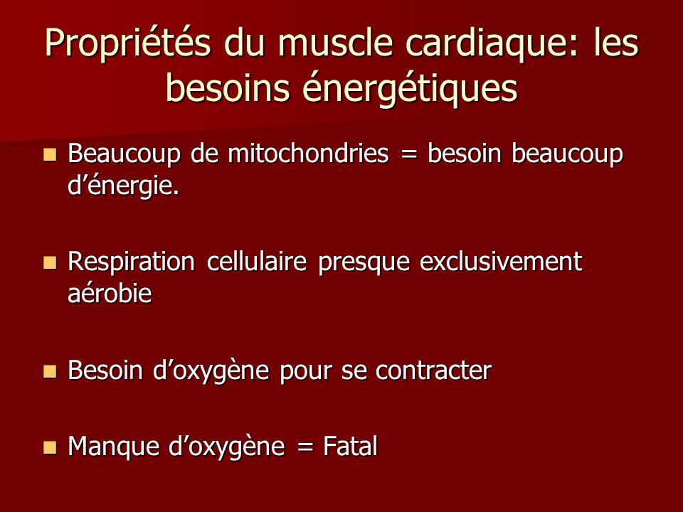Propriétés du muscle cardiaque: les besoins énergétiques Beaucoup de mitochondries = besoin beaucoup dénergie. Beaucoup de mitochondries = besoin beau