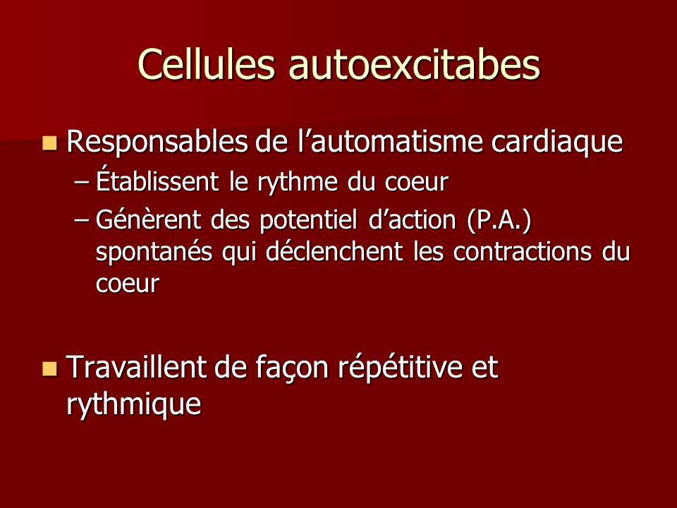 Cellules autoexcitabes Responsables de lautomatisme cardiaque Responsables de lautomatisme cardiaque –Établissent le rythme du coeur –Génèrent des pot