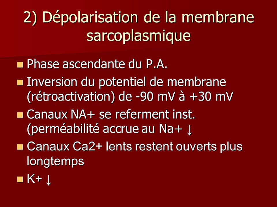 2) Dépolarisation de la membrane sarcoplasmique Phase ascendante du P.A. Phase ascendante du P.A. Inversion du potentiel de membrane (rétroactivation)