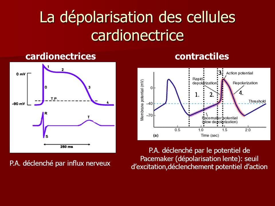 La dépolarisation des cellules cardionectrice cardionectricescontractiles P.A. déclenché par influx nerveux P.A. déclenché par le potentiel de Pacemak