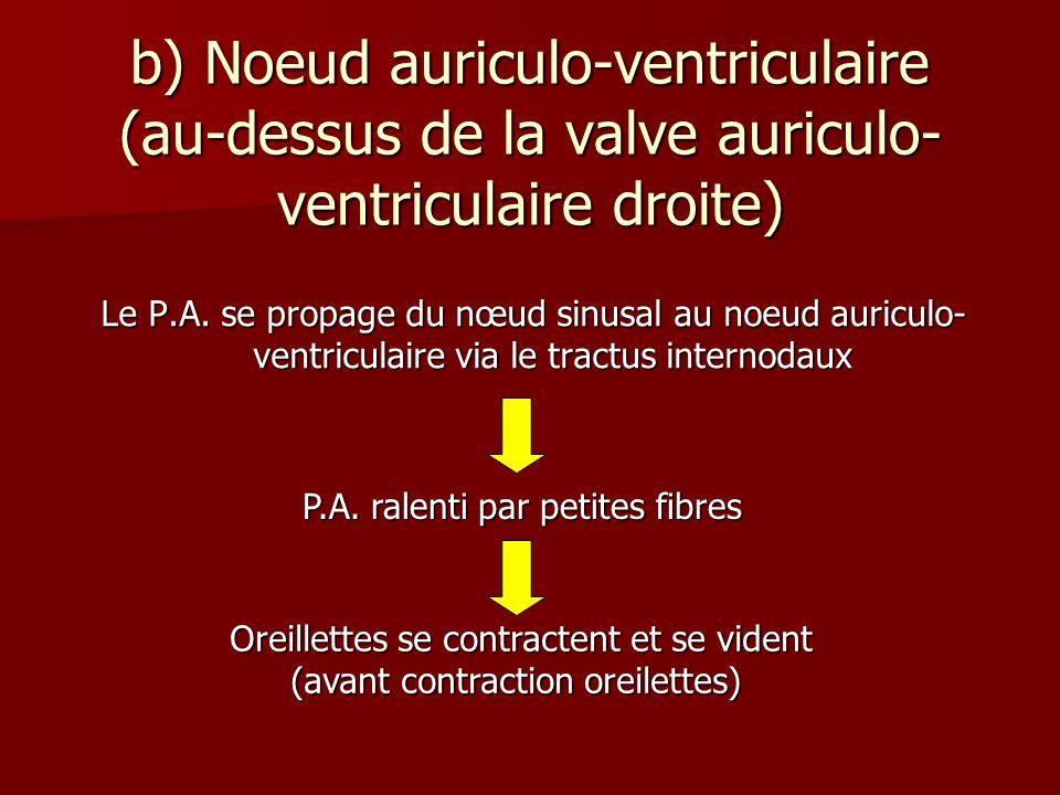 b) Noeud auriculo-ventriculaire (au-dessus de la valve auriculo- ventriculaire droite) Le P.A. se propage du nœud sinusal au noeud auriculo- ventricul