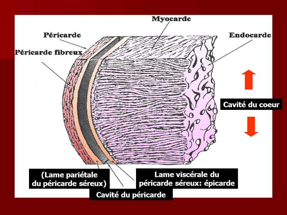 Lame viscérale du péricarde séreux: épicarde (Lame pariétale du péricarde séreux) Cavité du péricarde Cavité du coeur