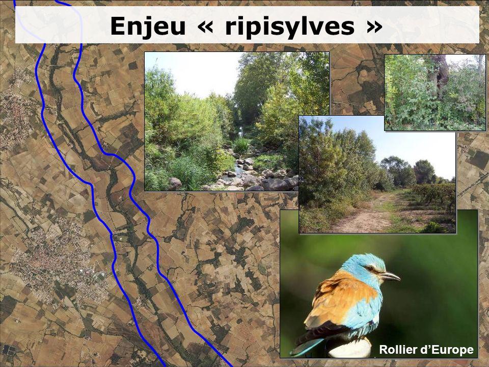 Enjeu « ripisylves » Rollier dEurope