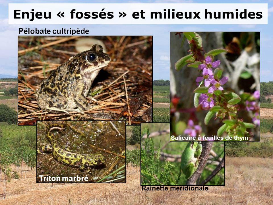 Enjeu « fossés » et milieux humides Rainette méridionale Pélobate cultripède Triton marbré Salicaire à feuilles de thym