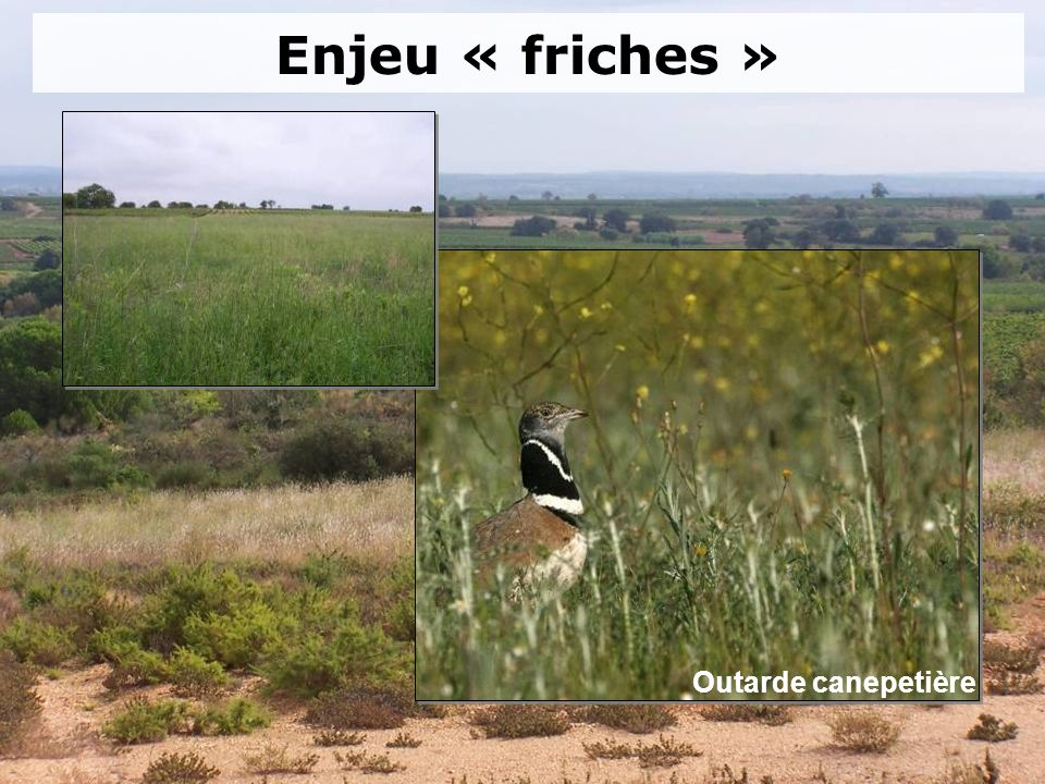 Enjeu « friches » Outarde canepetière