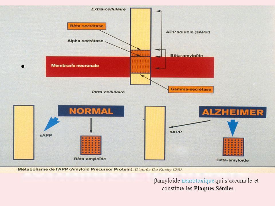 βamyloide neurotoxique qui saccumule et constitue les Plaques Séniles.