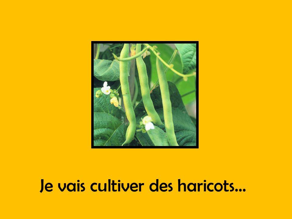 Je vais cultiver des haricots…