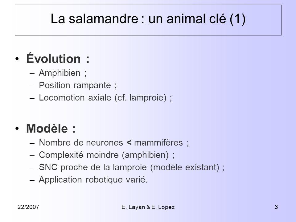 22/2007E. Layan & E. Lopez3 La salamandre : un animal clé (1) Évolution : –Amphibien ; –Position rampante ; –Locomotion axiale (cf. lamproie) ; Modèle