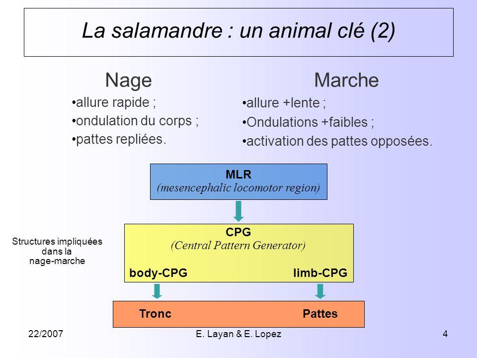 22/2007E. Layan & E. Lopez4 La salamandre : un animal clé (2) Nage allure rapide ; ondulation du corps ; pattes repliées. Marche allure +lente ; Ondul