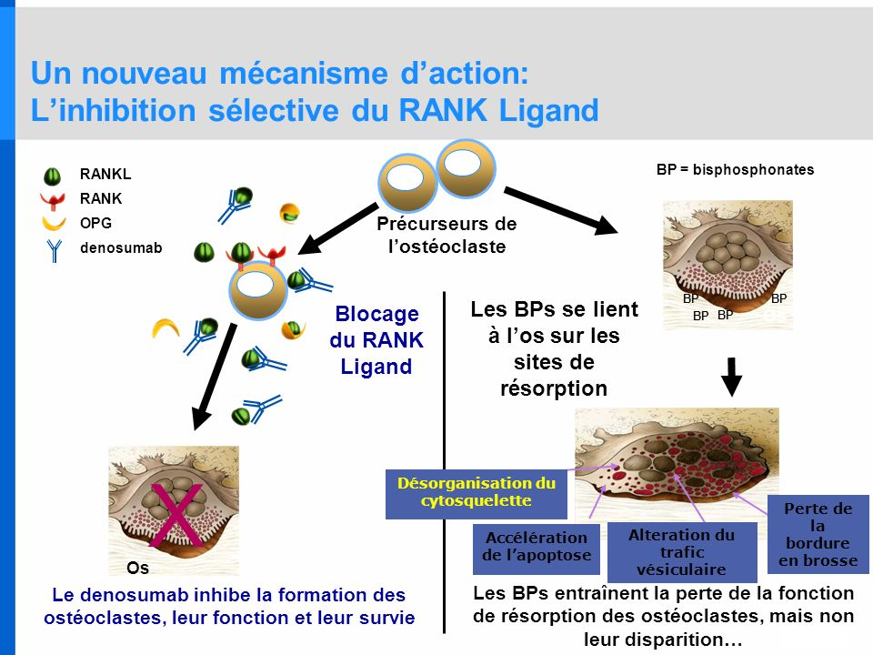 Un nouveau mécanisme daction: Linhibition sélective du RANK Ligand BP = bisphosphonates BP Os RANKL RANK OPG denosumab X Os Précurseurs de lostéoclast