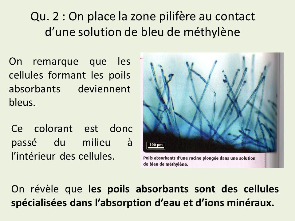 Qu. 2 : On place la zone pilifère au contact dune solution de bleu de méthylène On remarque que les cellules formant les poils absorbants deviennent b