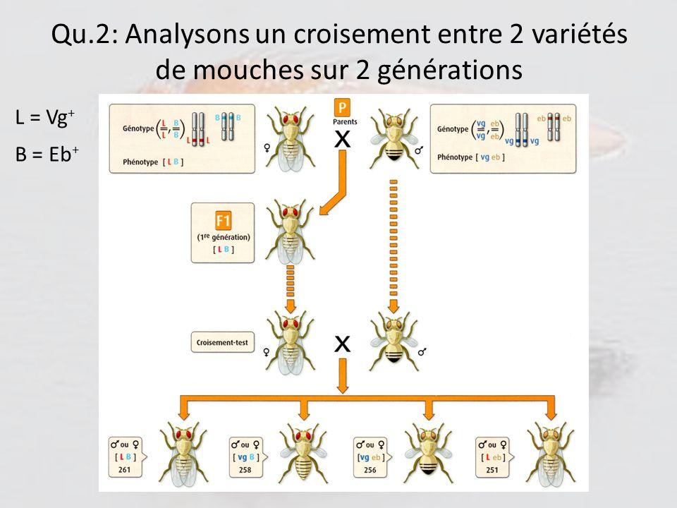 Qu.2: Analysons un croisement entre 2 variétés de mouches sur 2 générations Génération/ Phénotype[Vg + ; Eb + ][Vg + ; Eb][Vg ; Eb + ][Vg ; Eb] Parents P1 et P2 50 % () 1 ère génération F1 = P1xP2100 % 2 e génération F2 = F1xP2 25 % On remarque quau bout de 2 générations, on fait apparaitre des combinaisons de caractères (donc dallèles) qui nexistaient pas dans les lignées parentales.