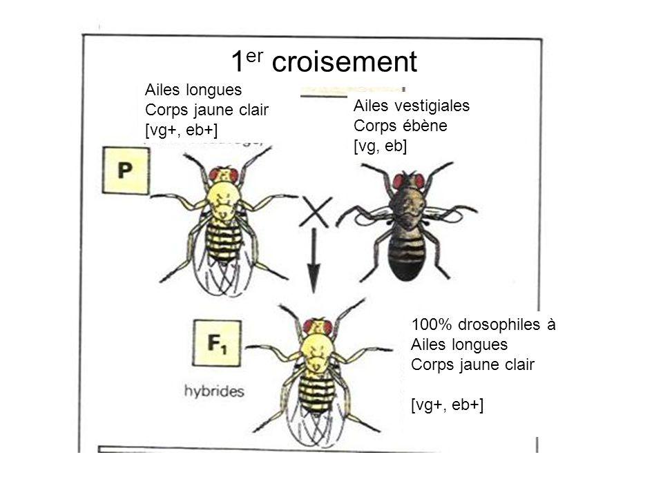 1 er croisement Ailes vestigiales Corps ébène [vg, eb] Ailes longues Corps jaune clair [vg+, eb+] 100% drosophiles à Ailes longues Corps jaune clair [