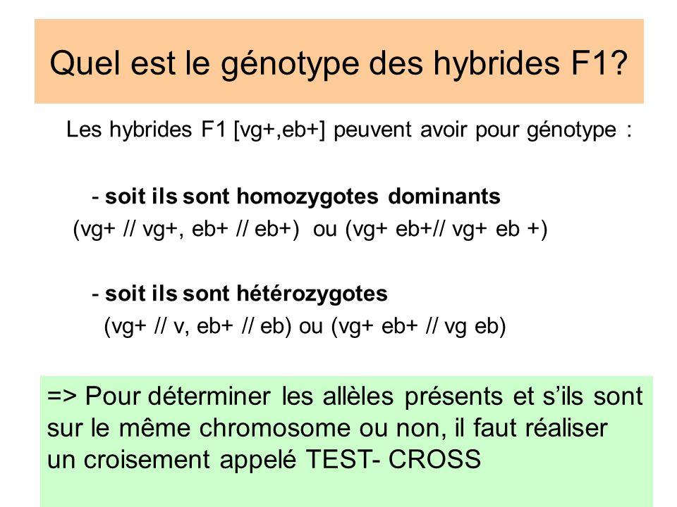Quel est le génotype des hybrides F1? Les hybrides F1 [vg+,eb+] peuvent avoir pour génotype : - soit ils sont homozygotes dominants (vg+ // vg+, eb+ /