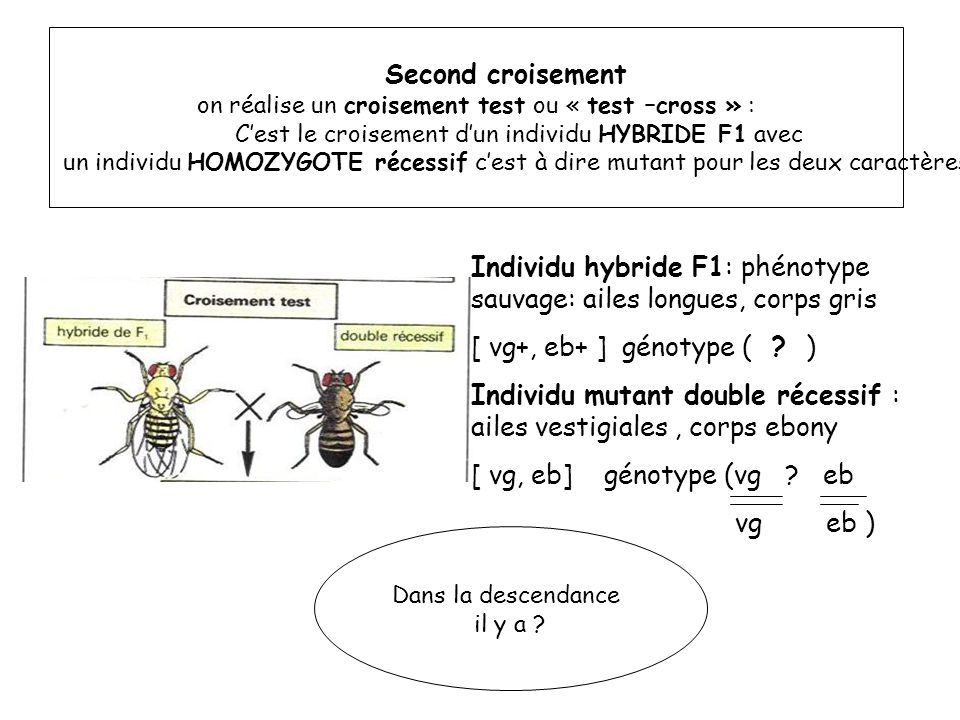 Dans la descendance il y a : 248 drosophiles mutantes : ailes vestigiales et au corps ebène [ vg, eb] 251 drosophiles : ailes longues et au corps ebène [ vg+, eb] 249 drosophiles : ailes vestigiales et au corps clair [ vg, eb+] 253 drosophiles sauvages : ailes longues et corps clair [ vg+, eb+ ] SOIT 25% PHENOTYPES PARENTAUX PHENOTYPES RECOMBINES Quelles cellules reproductrices doivent fournir la F1 pour obtenir ces proportions dans la génération F2 ?