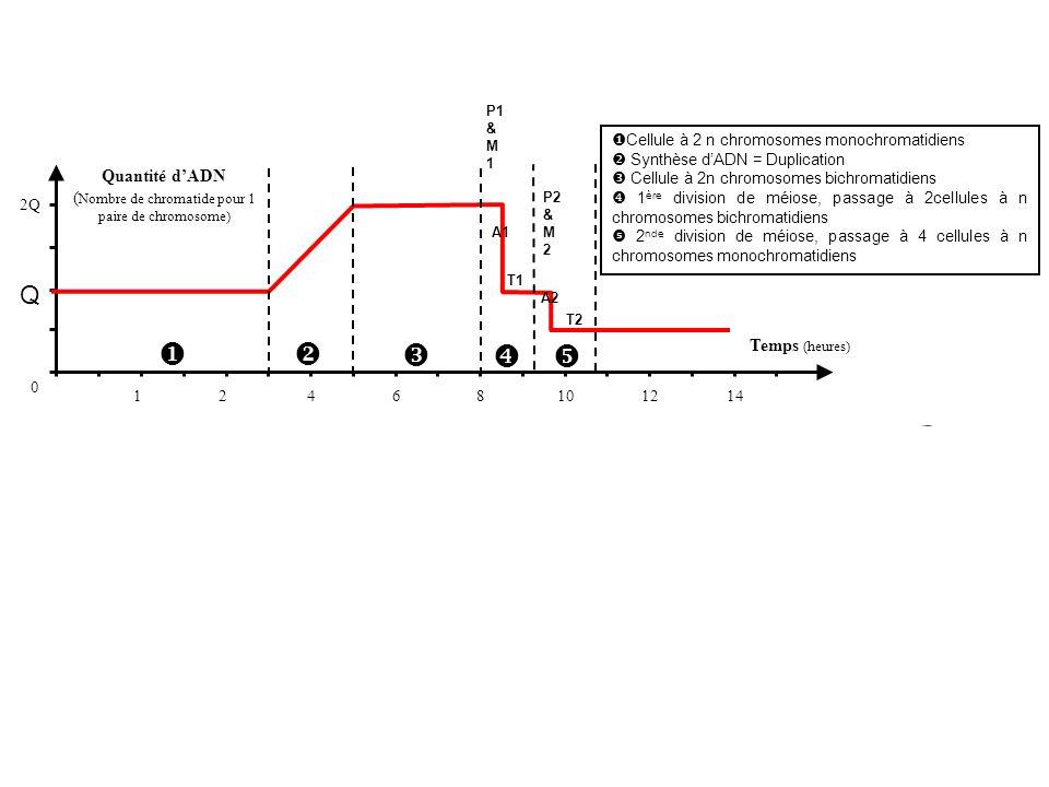 124 Quantité dADN ( Nombre de chromatide pour 1 paire de chromosome) Temps (heures) 0 Q 2Q 68101214 Cellule à 2 n chromosomes monochromatidiens Synthè