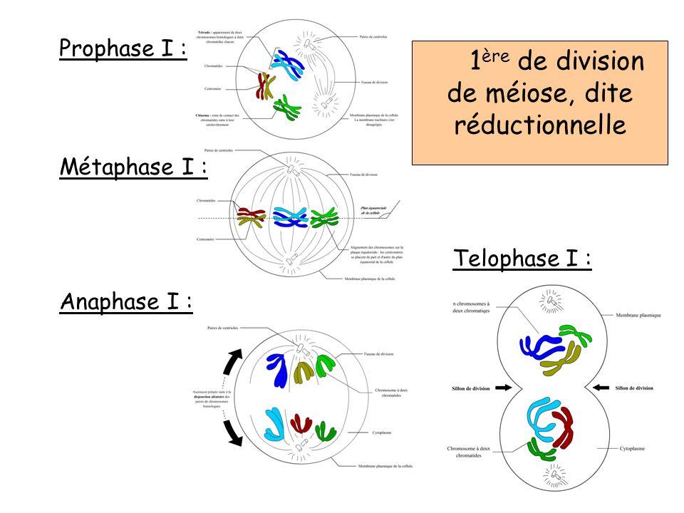 Prophase I : Métaphase I : Anaphase I : Telophase I : 1 ère de division de méiose, dite réductionnelle