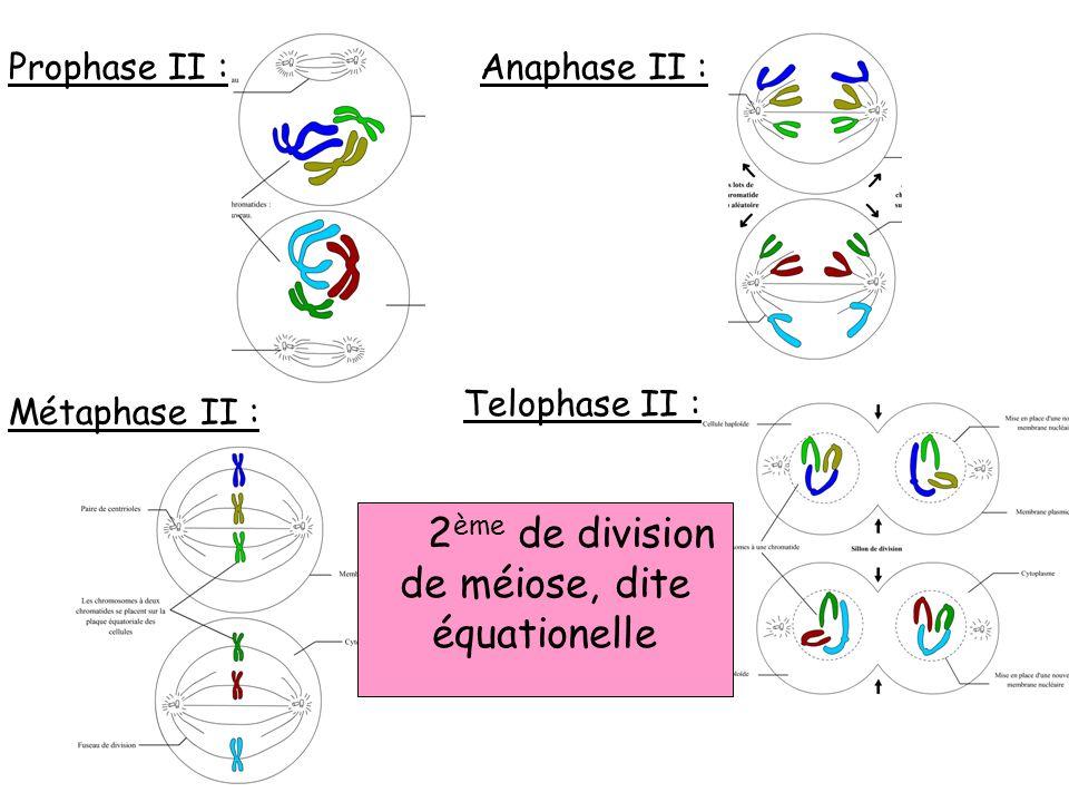 Prophase II : Métaphase II : Anaphase II : Telophase II : 2 ème de division de méiose, dite équationelle