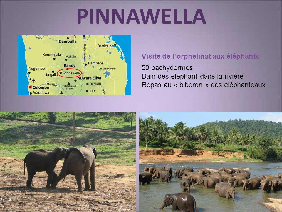 PINNAWELLA Visite de lorphelinat aux éléphants 50 pachydermes Bain des éléphant dans la rivière Repas au « biberon » des éléphanteaux