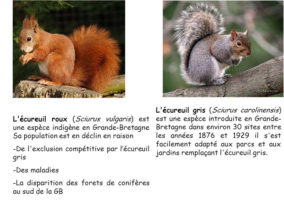 l'Écureuil gris: Sciurus carolinensis L'écureuil roux (Sciurus vulgaris) est une espèce indigène en Grande-Bretagne Sa population est en déclin en rai