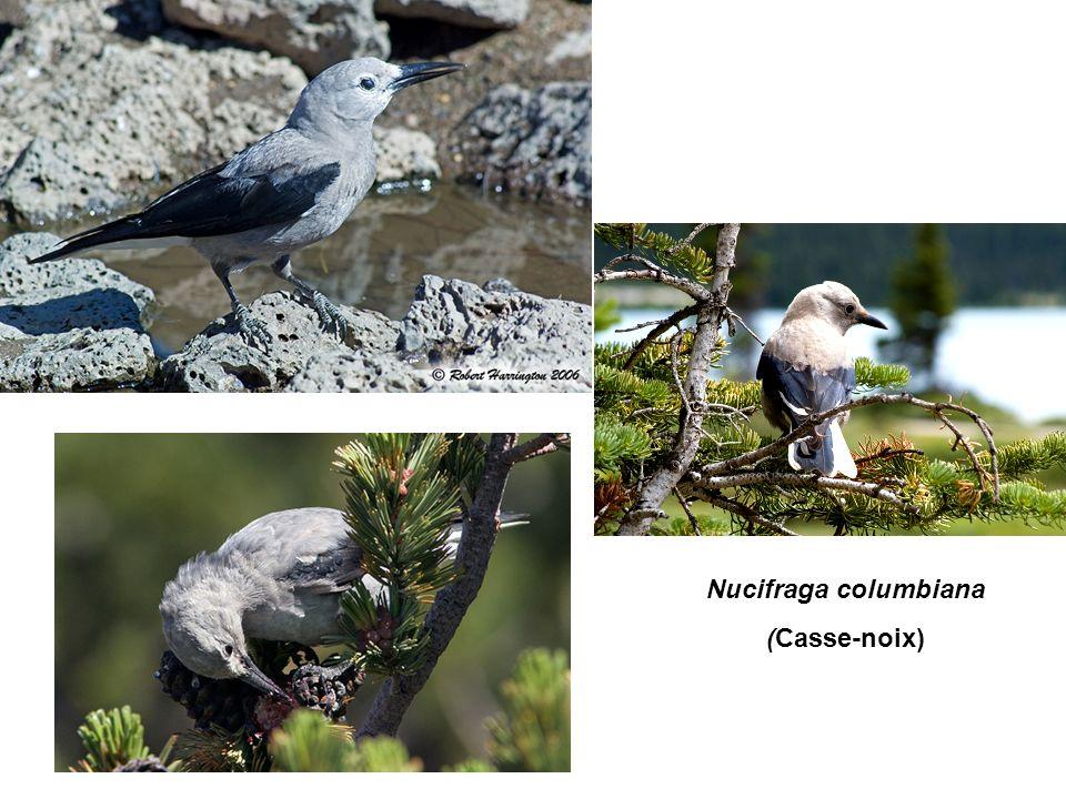 Nucifraga columbiana (Casse-noix)