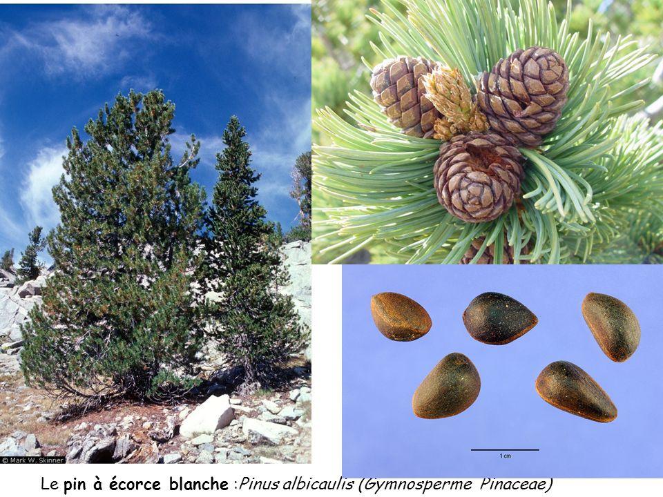 Le pin à écorce blanche :Pinus albicaulis (Gymnosperme Pinaceae)