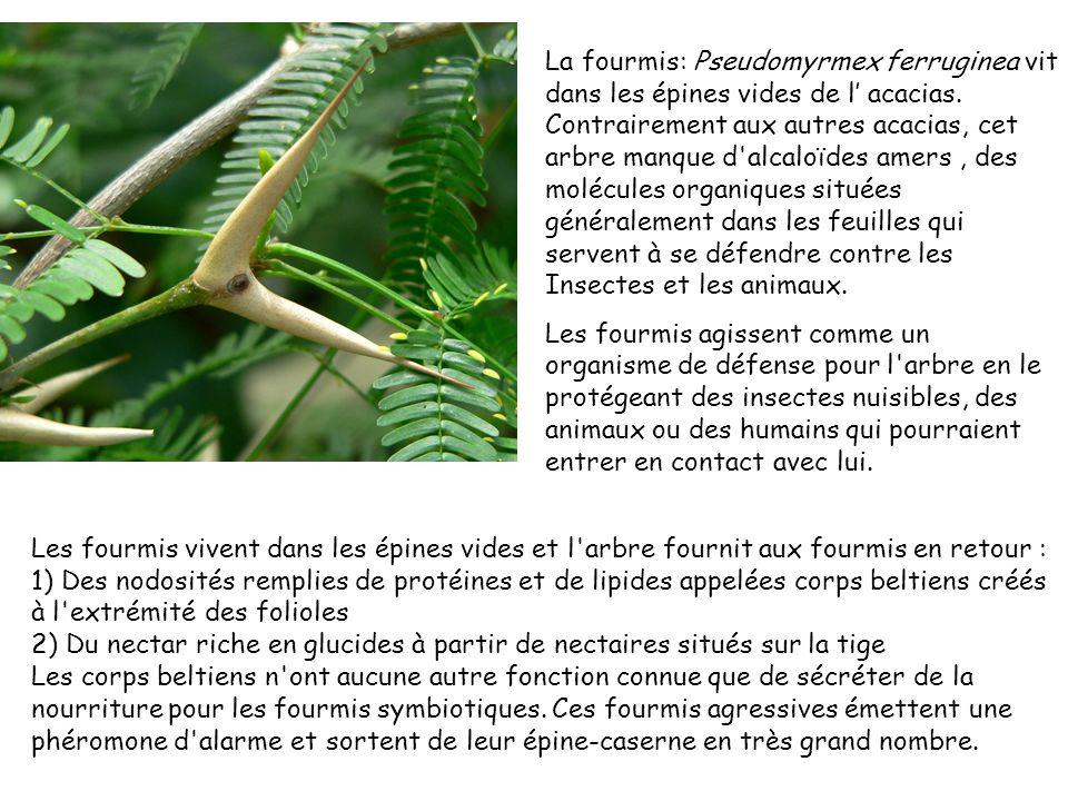 La fourmis: Pseudomyrmex ferruginea vit dans les épines vides de l acacias. Contrairement aux autres acacias, cet arbre manque d'alcaloïdes amers, des