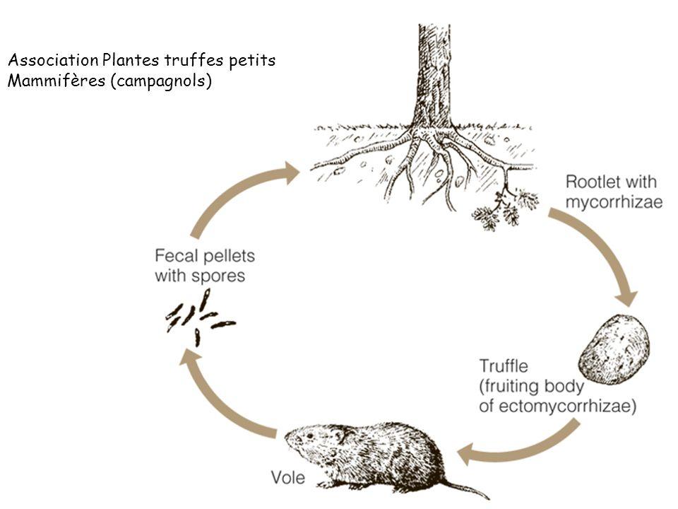 Association Plantes truffes petits Mammifères (campagnols)