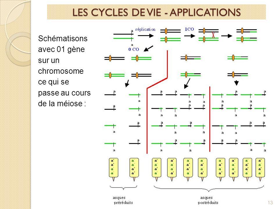 13 Schématisons avec 01 gène sur un chromosome ce qui se passe au cours de la méiose : LES CYCLES DE VIE - APPLICATIONS