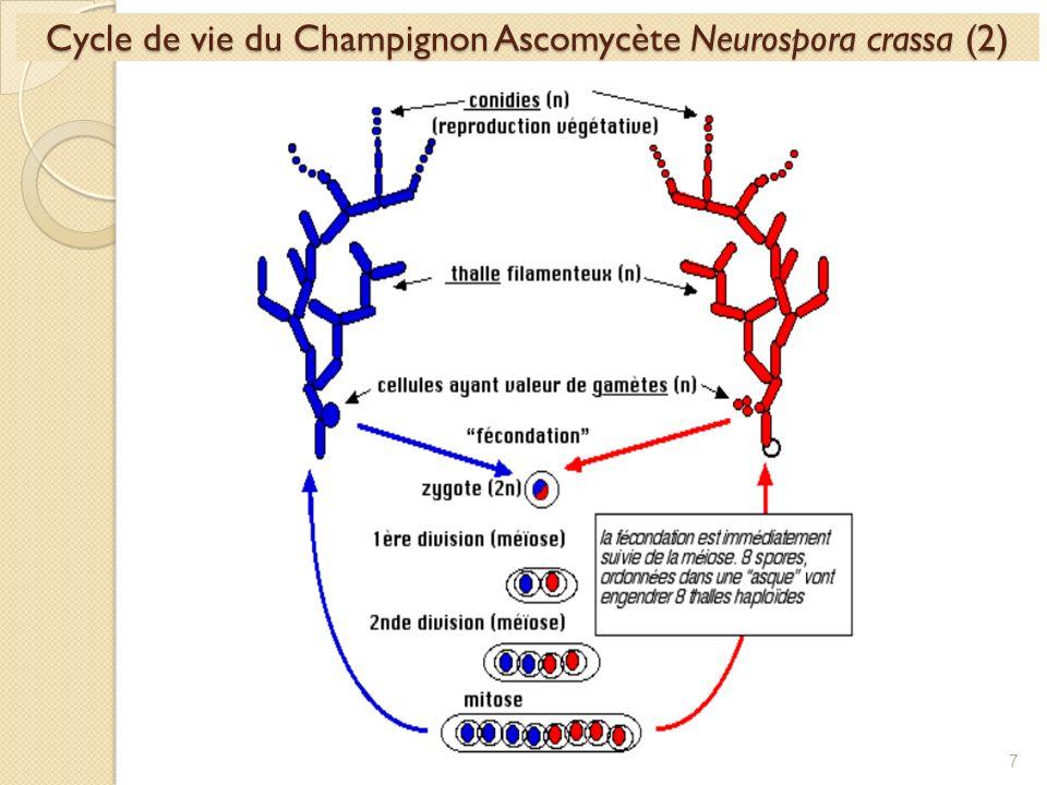 Cycle de vie du Champignon Ascomycète Neurospora crassa (2) 7