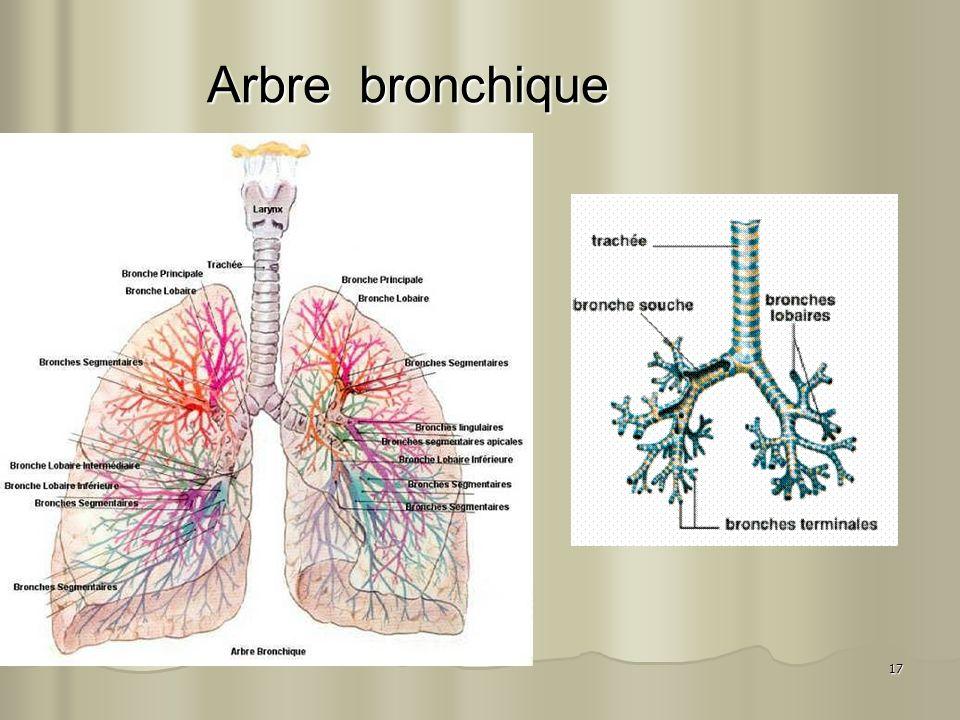 17 Arbre bronchique