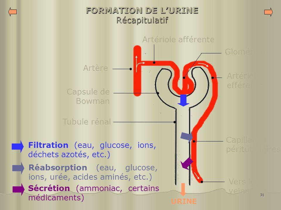 31 FORMATION DE LURINE Récapitulatif Glomérule Artériole efférente Capillaires péritubulaires Artériole afférente Artère Tubule rénal Capsule de Bowma