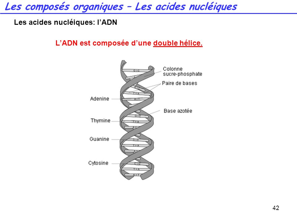 42 LADN est composée dune double hélice. Les composés organiques – Les acides nucléiques Les acides nucléiques: lADN