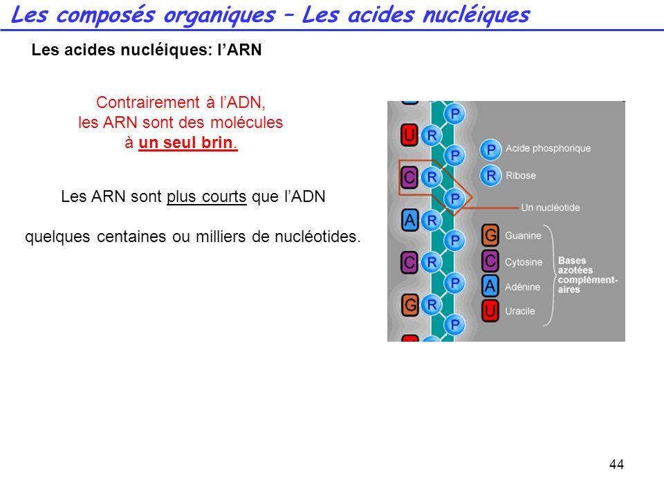 44 Contrairement à lADN, les ARN sont des molécules à un seul brin. Les ARN sont plus courts que lADN quelques centaines ou milliers de nucléotides. L