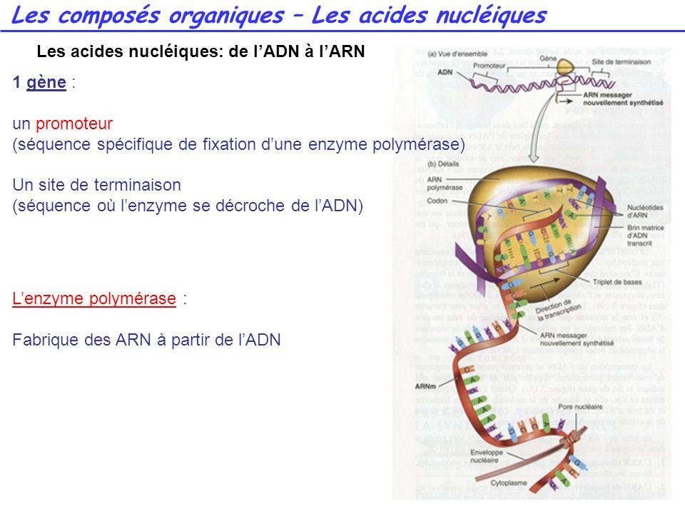 47 1 gène : un promoteur (séquence spécifique de fixation dune enzyme polymérase) Un site de terminaison (séquence où lenzyme se décroche de lADN) Len