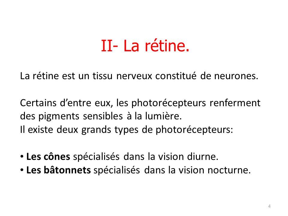 21/04/12 Les photorécepteurs à bâtonnets sont sensibles aux faibles éclairements et permettent une vision nocturne en nuances de gris.