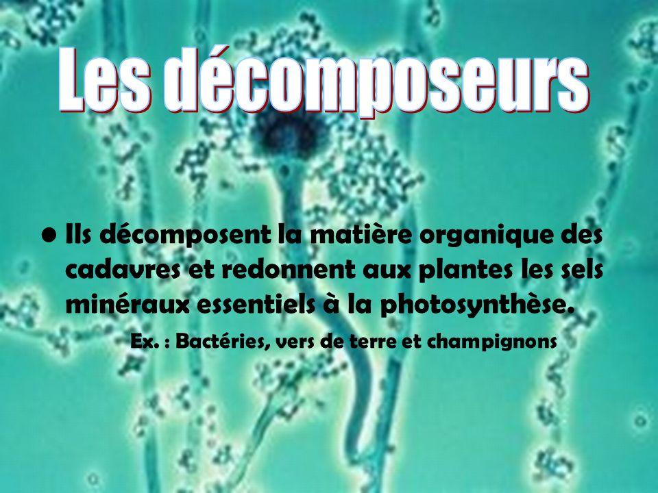 Ils décomposent la matière organique des cadavres et redonnent aux plantes les sels minéraux essentiels à la photosynthèse. Ex. : Bactéries, vers de t