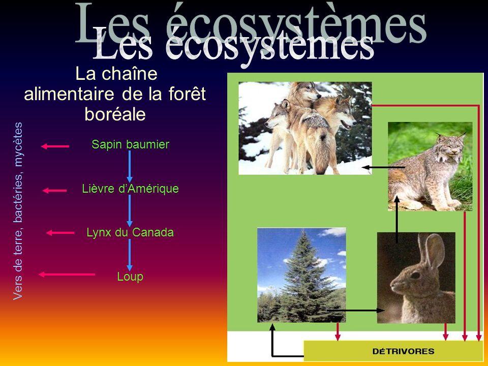La chaîne alimentaire de la forêt boréale Sapin baumier Lièvre dAmérique Lynx du Canada Loup Vers de terre, bactéries, mycètes