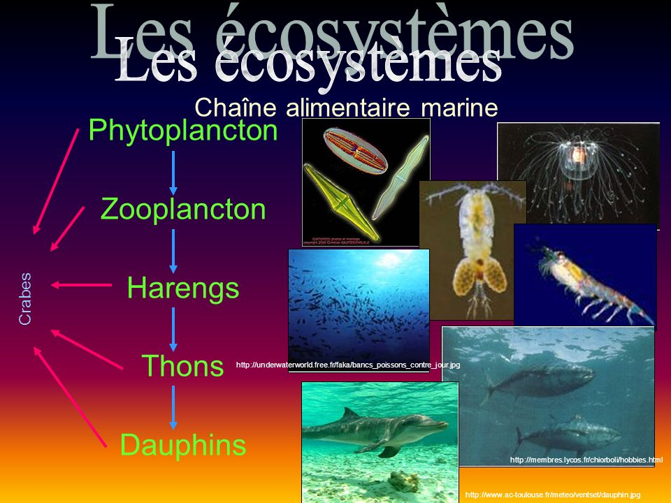 Phytoplancton Zooplancton Harengs Thons Dauphins Crabes http://underwaterworld.free.fr/faka/bancs_poissons_contre_jour.jpg http://membres.lycos.fr/chiorboli/hobbies.html http://www.ac-toulouse.fr/meteo/ventset/dauphin.jpg Chaîne alimentaire marine