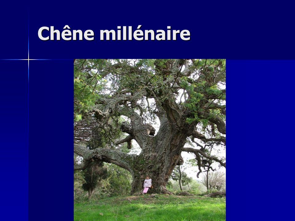 Chêne millénaire