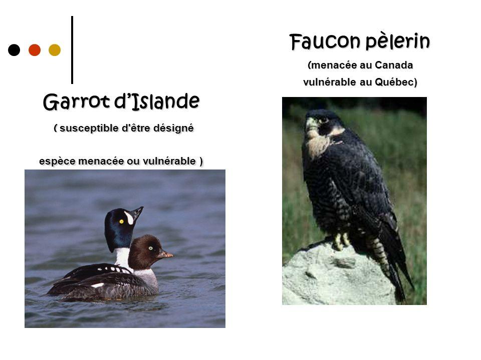 Faucon pèlerin ( menacée au Canada vulnérable au Québec) Garrot dIslande ( susceptible d'être désigné espèce menacée ou vulnérable )