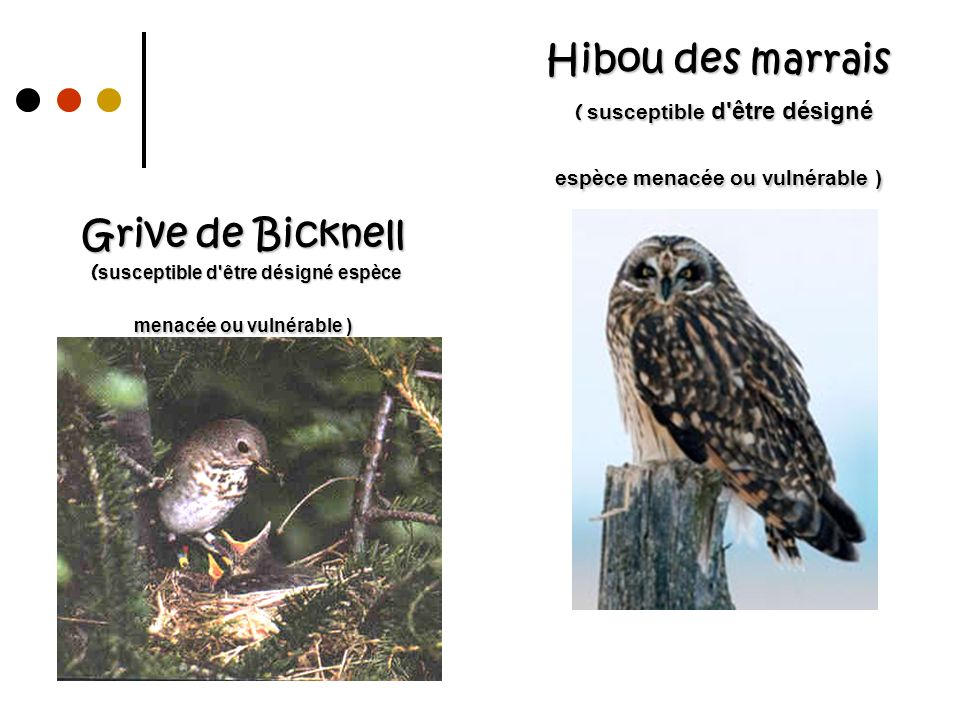 Grive de Bicknell ( susceptible d'être désigné espèce menacée ou vulnérable ) Hibou des marrais ( susceptible d'être désigné espèce menacée ou vulnéra