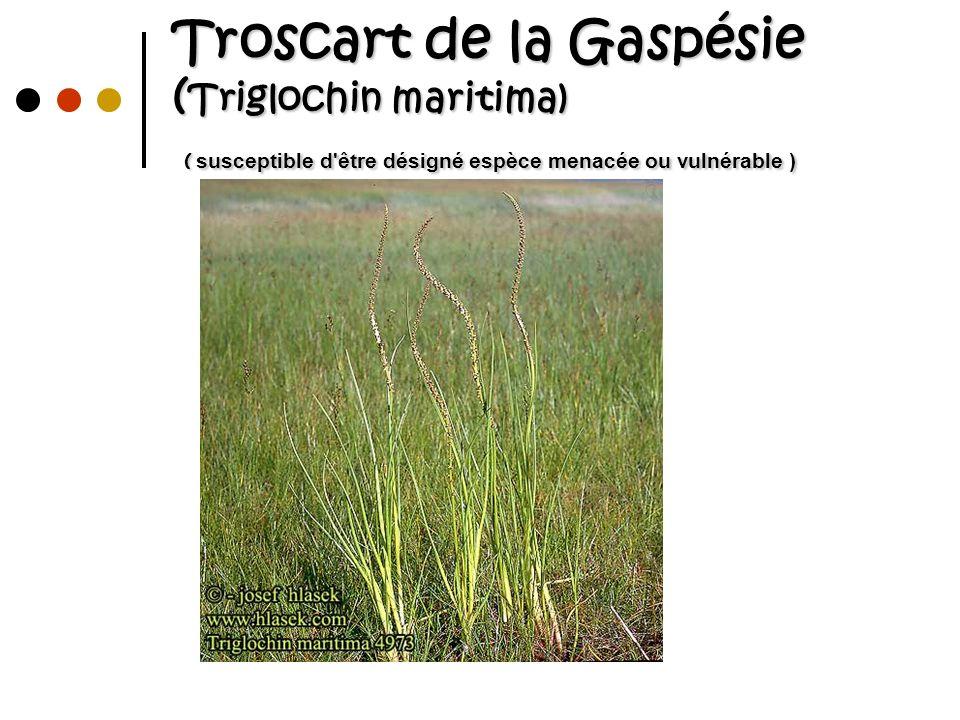 Troscart de la Gaspésie ( Triglochin maritima) ( susceptible d'être désigné espèce menacée ou vulnérable )